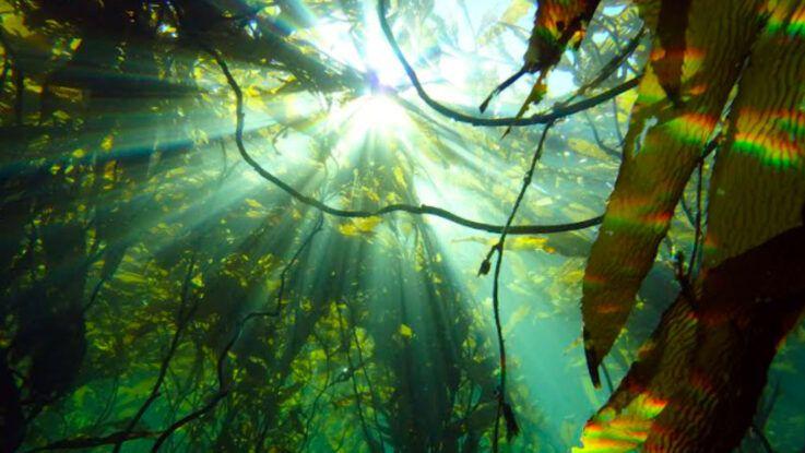 Bosques submarinos de la Patagonia