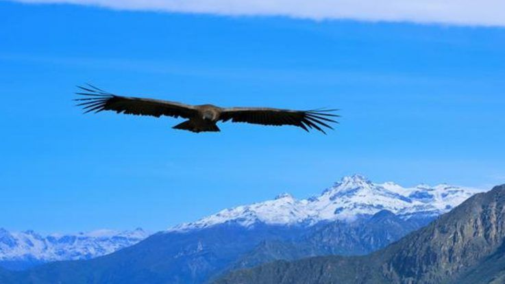 Condor andino al borde de la extincion