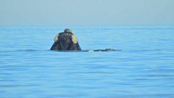 Los primeros avistajes de ballena franca