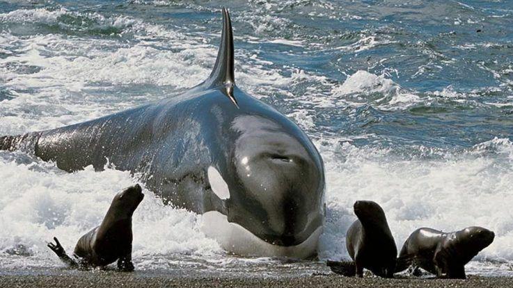Orcas al ataque en la Patagonia