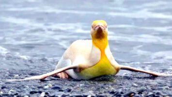 Pingüino amarillo una rara especie