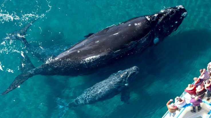 Temporada de avistamiento de ballenas francas